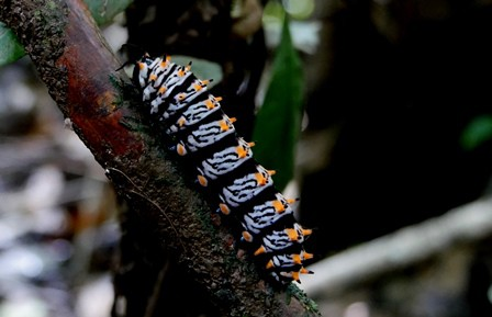 Shiripuno Lodge - Striking colors prevent it to be eaten, the importance of coloration in the creatures of the forest.