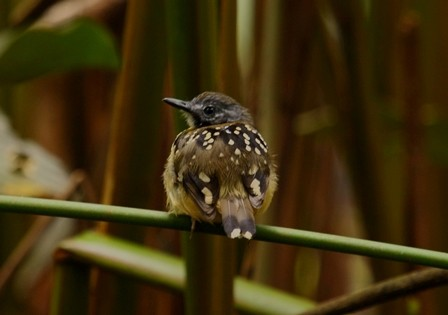 birding Dot-backed Antbird