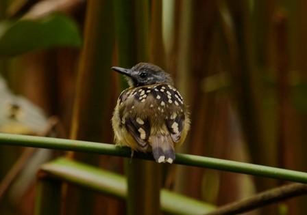 birding Dot-backed Antbird