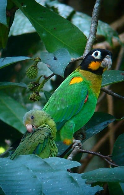 ORANGE-CHEEKED PARROT COBALT-WINGED PARAKEET