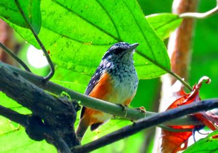 Contact Us at Shiripuno Lodge ~ Warbling Antbird. Photo taken by Daniel Hicks.