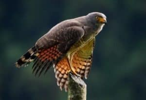 Shiripuno Lodge ~ Roadside Hawk