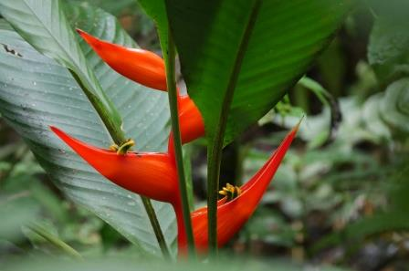 amazon rainforest plants. heliconia amazon rainforest plants