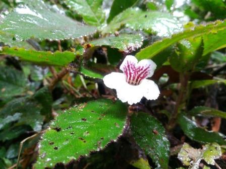 Common Plants of the Amazon Rainforest, Nautilocalyx Flower