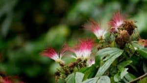 Common Plants of the Amazon Rainforest. Calliandra.