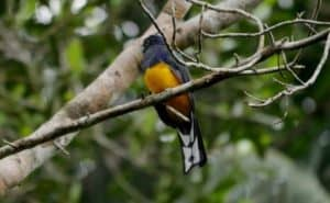 Green-backed Trogon. Lives at mid levels in the forest. Yasuni Biosphere Reserve.