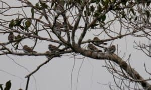 Sand/colored Nighthawk resting on branches. Taracoa Lake. Orellana Province