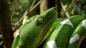 Emerald Tree Boa lives in the canopy, although it can come to lower vegetation. Active at night. Yasuni Biosphere Reserve.