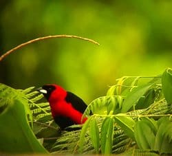 Maksed Crimson Tanager easy recognized when you find it!. Yasuni Biosphere Reserve.