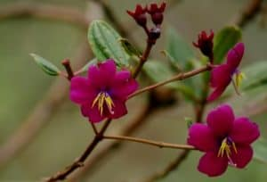 Tebouchinna flowers can cover some areas in the ecuadorian eastern cloudforest