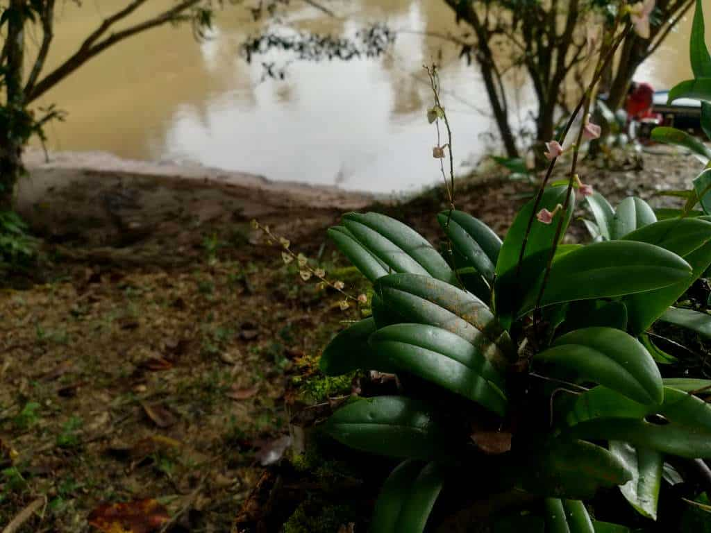 The Orchids of the Amazon Rainforest in Ecuador. Genus: Catasetum. Yasuni Biosphere Reserve.