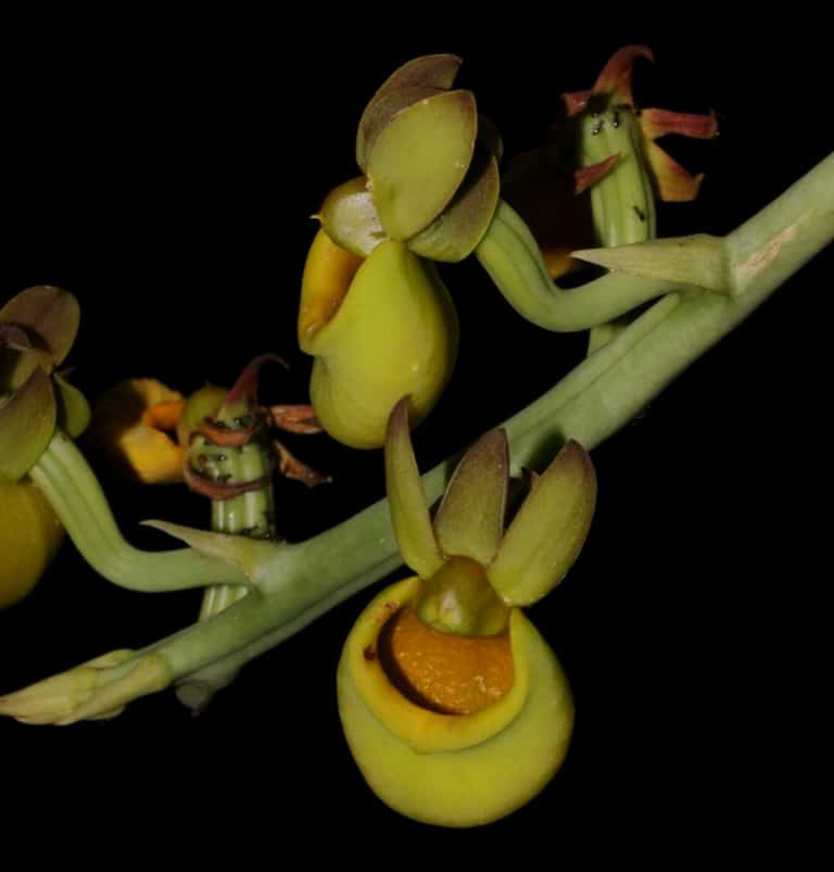 The Orchids of the Amazon Rainforest. Ecuador Orchid Tour