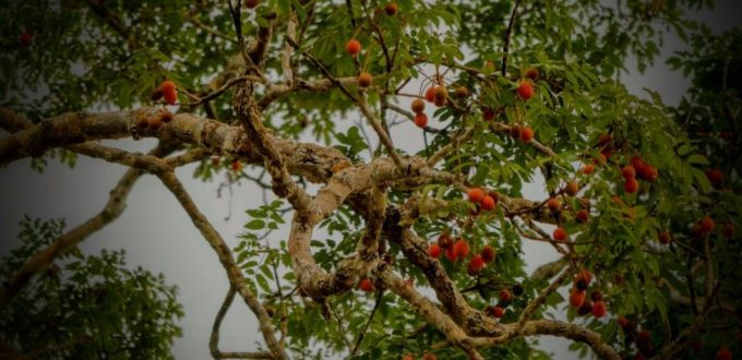 Rainforest Fruiting Tree