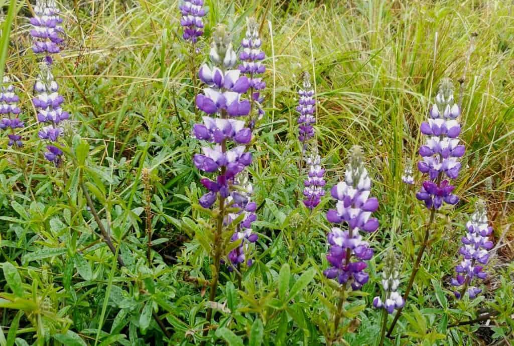 Ecuador Wildflowers; Paramo specialty