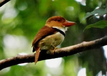Puffbirds of the Amazon Rainforest in Ecuador