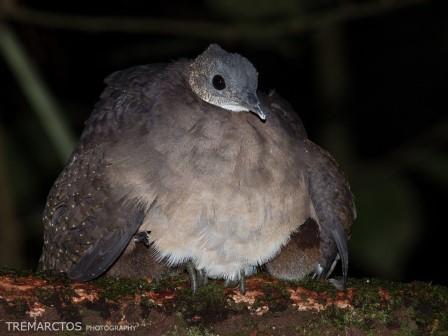 Tinamous of the Amazon Rainforest in Ecuador
