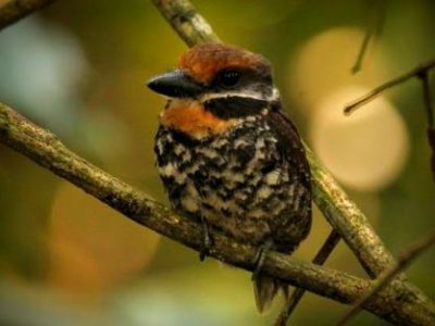 Puffbirds of the Amazon Rainforest in Ecuador