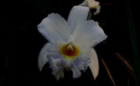 Learn more about the Orchids of Ecuador: Orchid of Ecuador